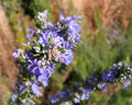 Close-up of rosemary flowers Royalty Free Stock Photo