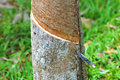 Close up of rubber tree being tapped Stock Photos