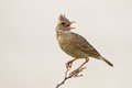 Close up of rufous naped lark mirafra africana Royalty Free Stock Photography