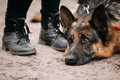 Close up sad brown german shepherd dog lying on ground alsatian near woman feet in shoes wolf Stock Photos