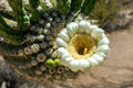 Close up saguaro cactus flower fascinating of the unusual in springtime in the sonoran desert Stock Image