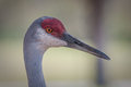 Close up of sandhill crane head and beak red gray Stock Photos