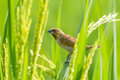Close up of scaly breasted munia the lonchura punctulata on the rice field Stock Photography