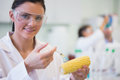 Close up of scientific researcher injecting corn cob at lab portrait a a the Royalty Free Stock Photography