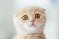 Close up of scottish fold kitten with smartphone