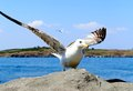Close up of seagull in action whole background Royalty Free Stock Photography