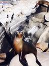 Close up of Seal on beach at La Jolla, San Diego California USA Royalty Free Stock Photo