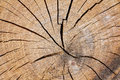 Close up section of a tree trunk. Royalty Free Stock Photo