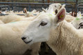 Close up sheep fenced pen ready being transported green spot their fleece Stock Photo