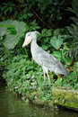 Close up shoebill balaeniceps rex bird zoo bill bird resembles dutch wooden clog hence common name also known as whale headed Stock Photography