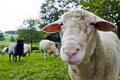 Close up shoot of a sheep on a lawn the herd Royalty Free Stock Images