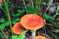 Close up shot of a beautiful natural perfect red mushroom with white dots or fly agaric with a round hat in the forest