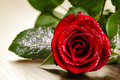 Close up shot beautiful red rose love concept Royalty Free Stock Photography
