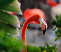 Close up shot of a flamingo profile the american phoenicopterus ruber over beautiful sunset flock exotic birds at natural habitat Stock Photo