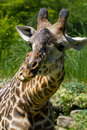 A close up shot of a giraffe outside eating Royalty Free Stock Photos