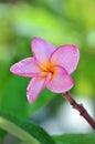 Close up shot of a pink frangipani flowe Royalty Free Stock Photo