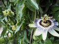 Purple Passionflower Royalty Free Stock Photo