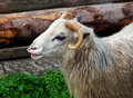 Close up shot of a Ram Royalty Free Stock Photo