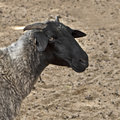 Close up shot of a sheep young Royalty Free Stock Photography