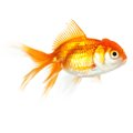 Close up shot of swimming goldfish isolated concept wish fulfilment and natural beauty Stock Images