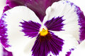 Close up shot white purple pansy flower selective focus shallow dof Stock Photography