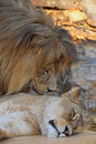 Close up side portrait of lion and lioness Royalty Free Stock Photo