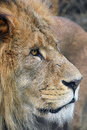Close up side portrait of male African lion Royalty Free Stock Photo