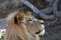 Close up side portrait of young male African lion Royalty Free Stock Photo