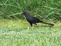 Sleek black bird running on green grass