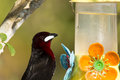 Close up of silver beaked tanager at bird feeder this beautiful velvety maroon throated blackish with white beak is the seen here Royalty Free Stock Photos