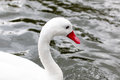 Close up of a single white swan with red beak and red eyes Royalty Free Stock Photo