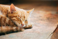 Close up of Small Peaceful Orange Red Tabby Cat Male Kitten Curl Royalty Free Stock Photo