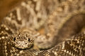 Close up of a snake in costa rica python boa constrictor Royalty Free Stock Photo