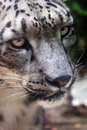 Close up of a snow leopard panthera uncia in an italian zoo Royalty Free Stock Photos