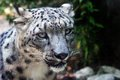 Close up of a snow leopard panthera uncia in an italian zoo Royalty Free Stock Images