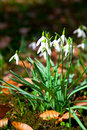 Close up of snowdrops spring wild primrose flowers Royalty Free Stock Photo