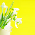 Close up of snowdrops in vase on yellow background with copy space Stock Photos