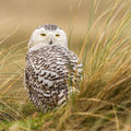 Close up snowy owl in the dunes of vlieland Royalty Free Stock Images