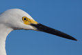 Close up of snowy white egret head with yellow breeding markings facing right Royalty Free Stock Photos