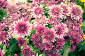 Close up Soft purple Chrysanthemum flowers nature Royalty Free Stock Photo
