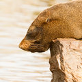 The close up of South American sea lion