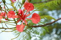 Close up of splendid gulmohar flowers in garden Royalty Free Stock Image