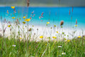 Close up of spring flowers with white sandy beach, turquoise water and an island in the background, Luskentyre, Isle of Harris, He Royalty Free Stock Photo