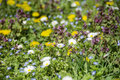 Close up of  spring garden with yellow dandelions and white daisies Royalty Free Stock Photo