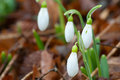 Close up spring snowdrop flowers Royalty Free Stock Photography