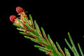 Close up of a spruce tree branch with red flowers Royalty Free Stock Photo