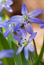 Close-up of  squill (scilla sibirica) Royalty Free Stock Image