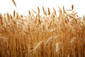 Close up stalks of wheat on a white Royalty Free Stock Photo