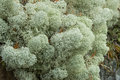 Close up of star tipped reindeer lichen mounds cladina stellaris or northern or Royalty Free Stock Photos