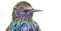 Close up of a Starling Stock Image